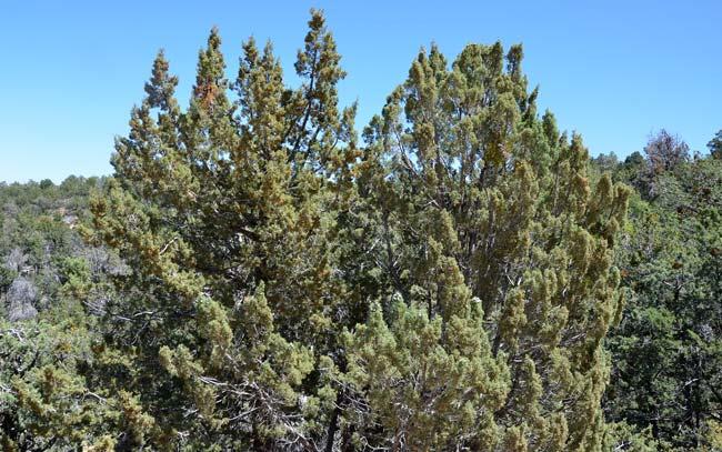 arizona-cypress-pic.jpg
