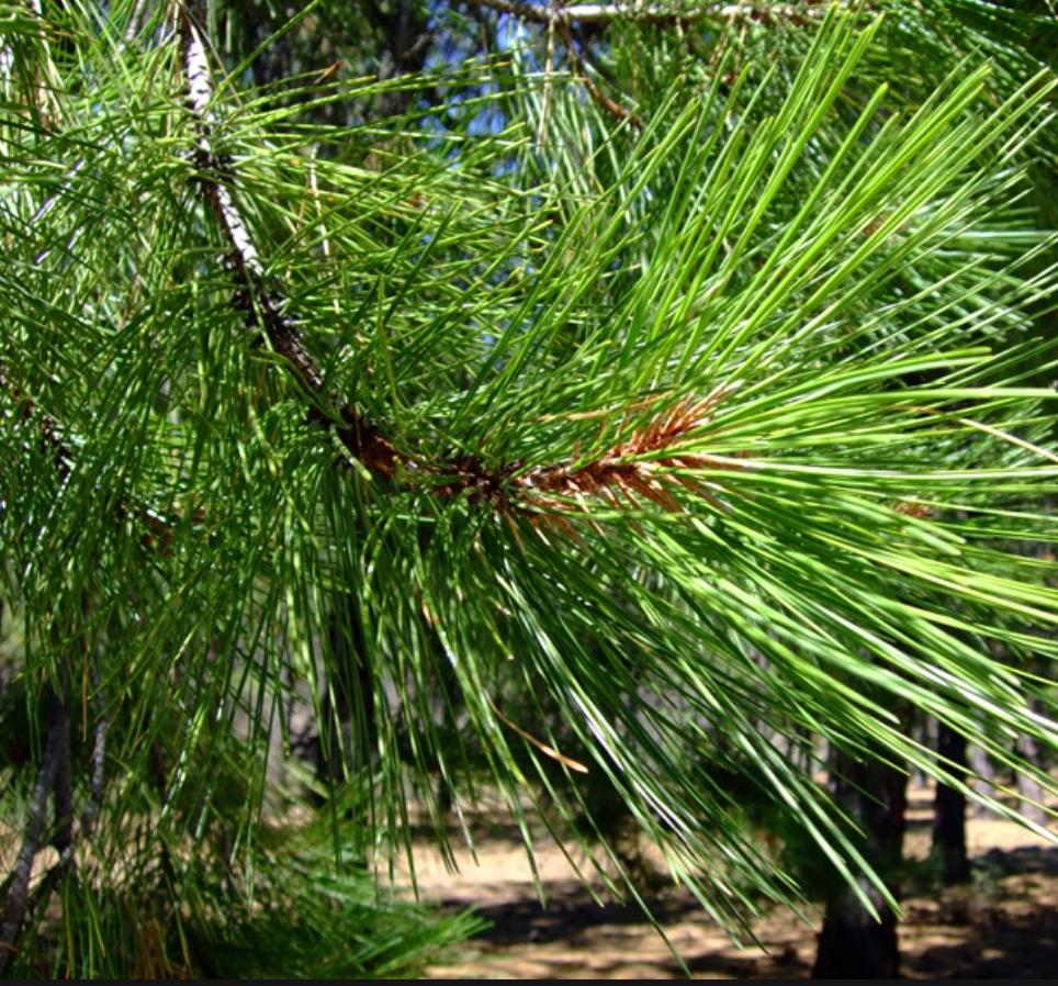 ponderosa-pine.png